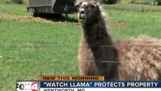 """Missouri ranch has a """"Watch Llama"""""""