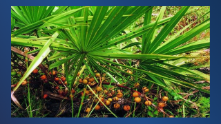 palmetto berries 12.png