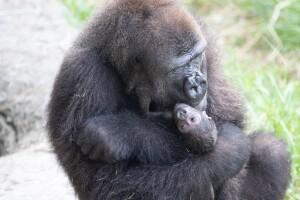 gorillainfant4.jpg