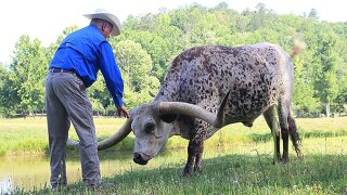 This steer's nearly 11-foot horns just broke a Guinness World Record