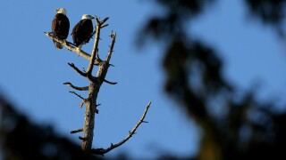 Two bald eagles illegally shot in northern Wisconsin