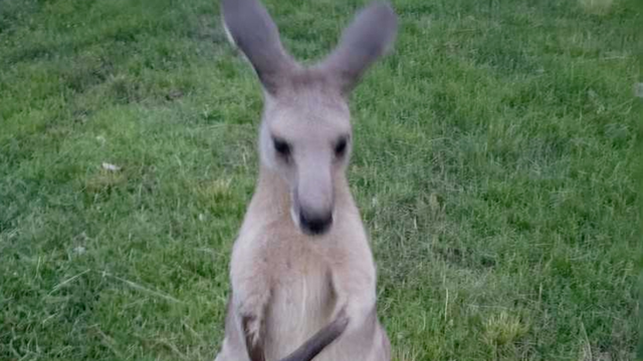 Missing kangaroo is talk of the town