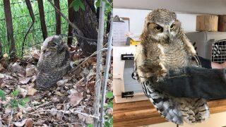 Cañon City police rescue owl