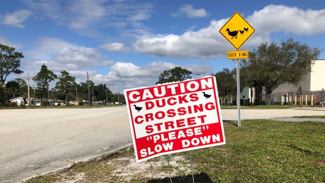wptv-duck-crossing---.jpg