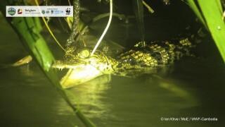Cambodia Crocodiles