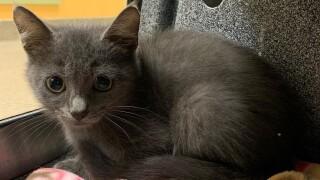 Lee County Domestic Animal Services kitten.jpg