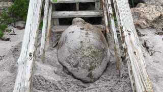 loggerhead turtle (1).jpg