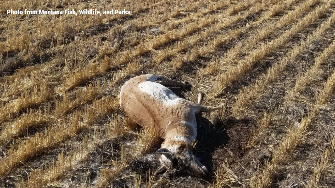 2 antelope were chased, run over, and killed near Moccasin