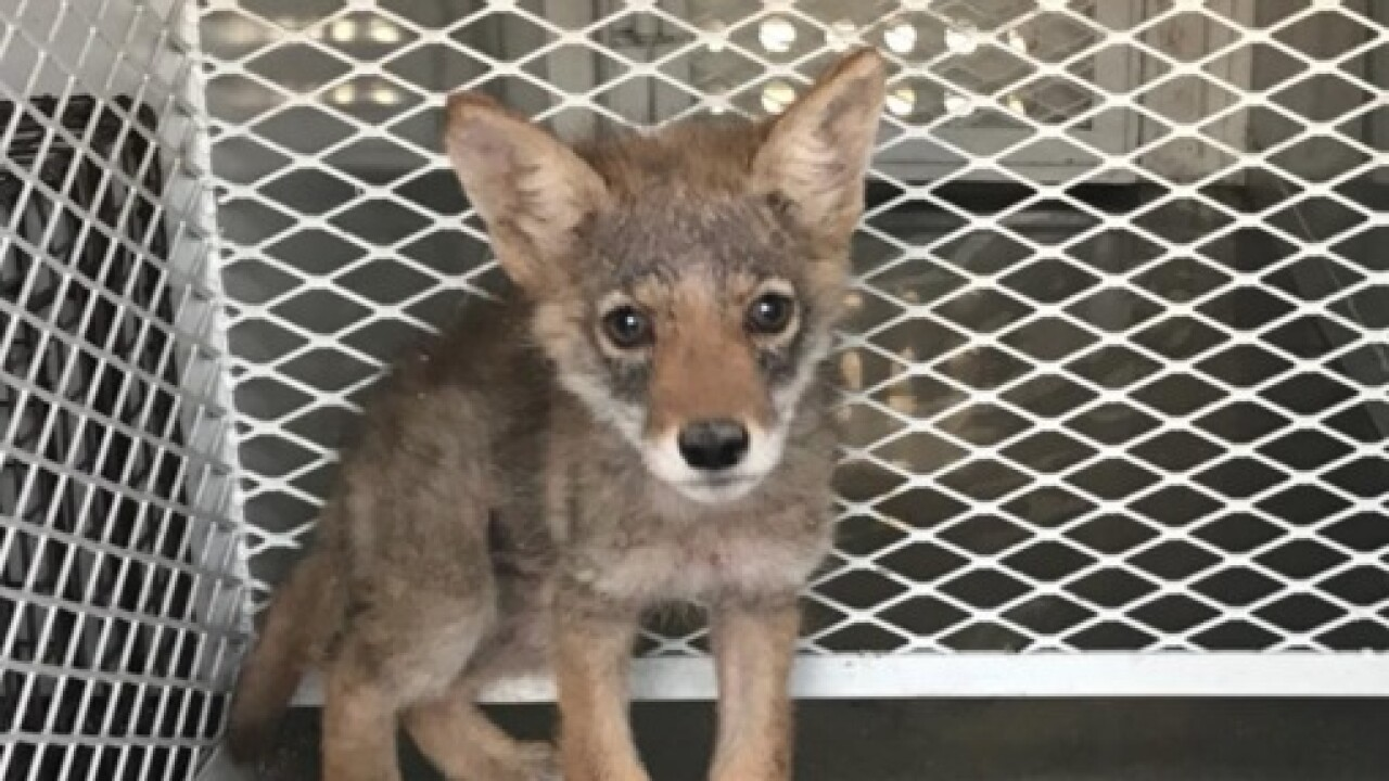 Coyote Puppy discovered in Kern County
