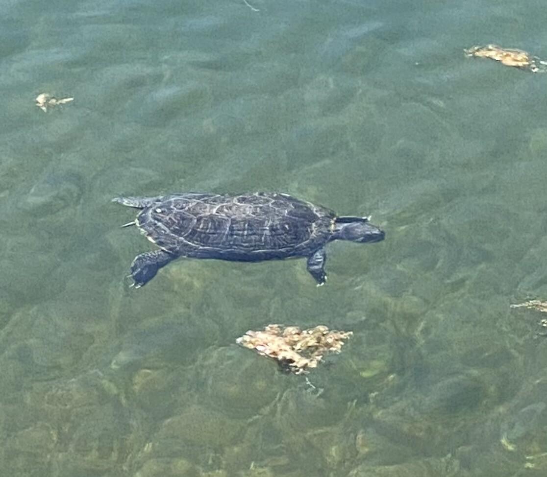 Turtle at Agua Caliente