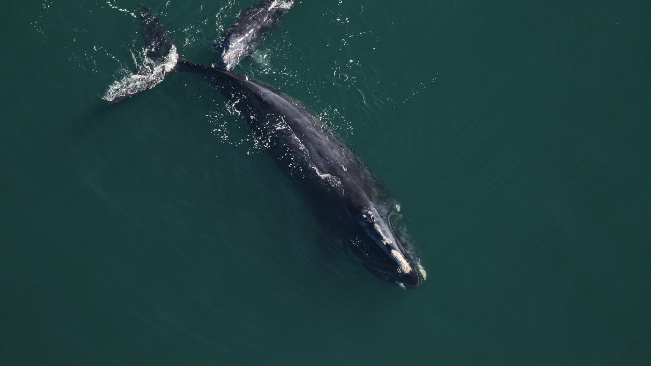 right whales-whales-clearwater