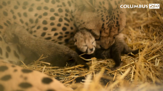 Columbus Zoo and Aquarium cheetah cub IVF birth