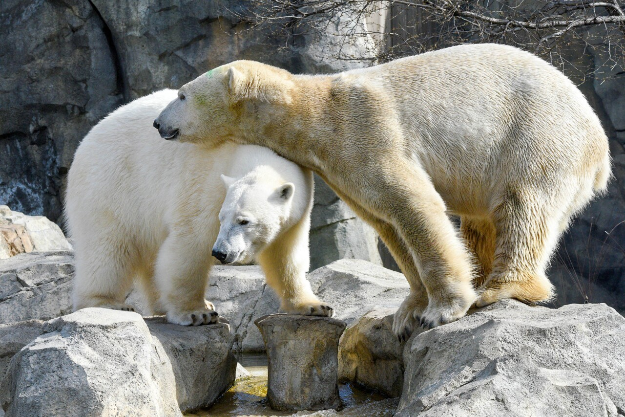Hope and Hudson are introduced at Brookfield Zoo