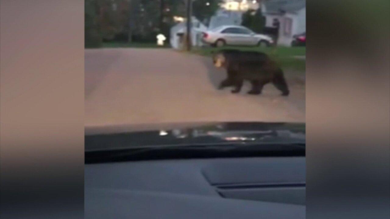 Black bear crosses road near Virginia Techcampus