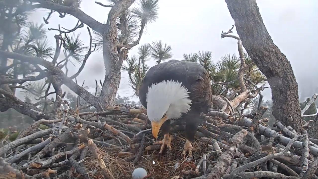 Friends of Big Bear Valley Bald Eagle Nest Cam