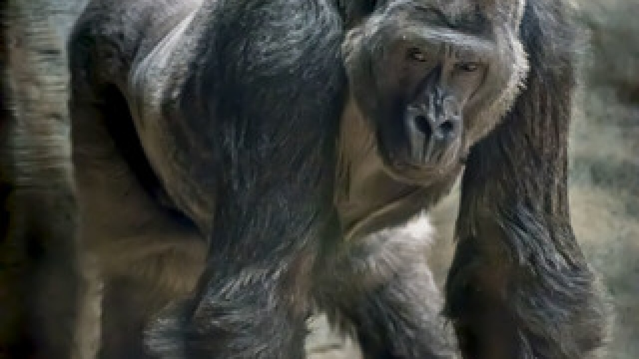 Cassius the gorilla dies at MKE County Zoo