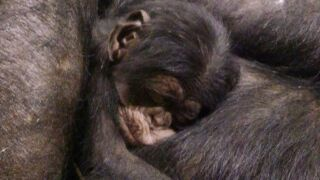 new baby chimp.jpeg