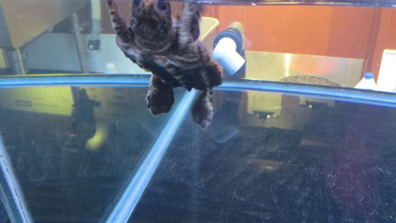 Four loggerhead sea turtle hatchlings come to the Virginia Aquarium, yearlings released