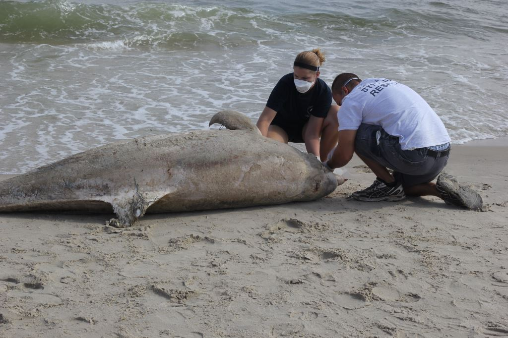 Photos: Over 300 dead dolphins recovered from Virginiabeaches
