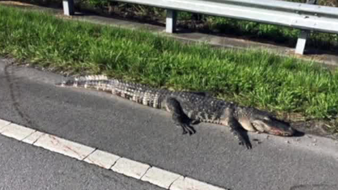 Cars damaged after hitting alligators on the road in western Palm Beach County