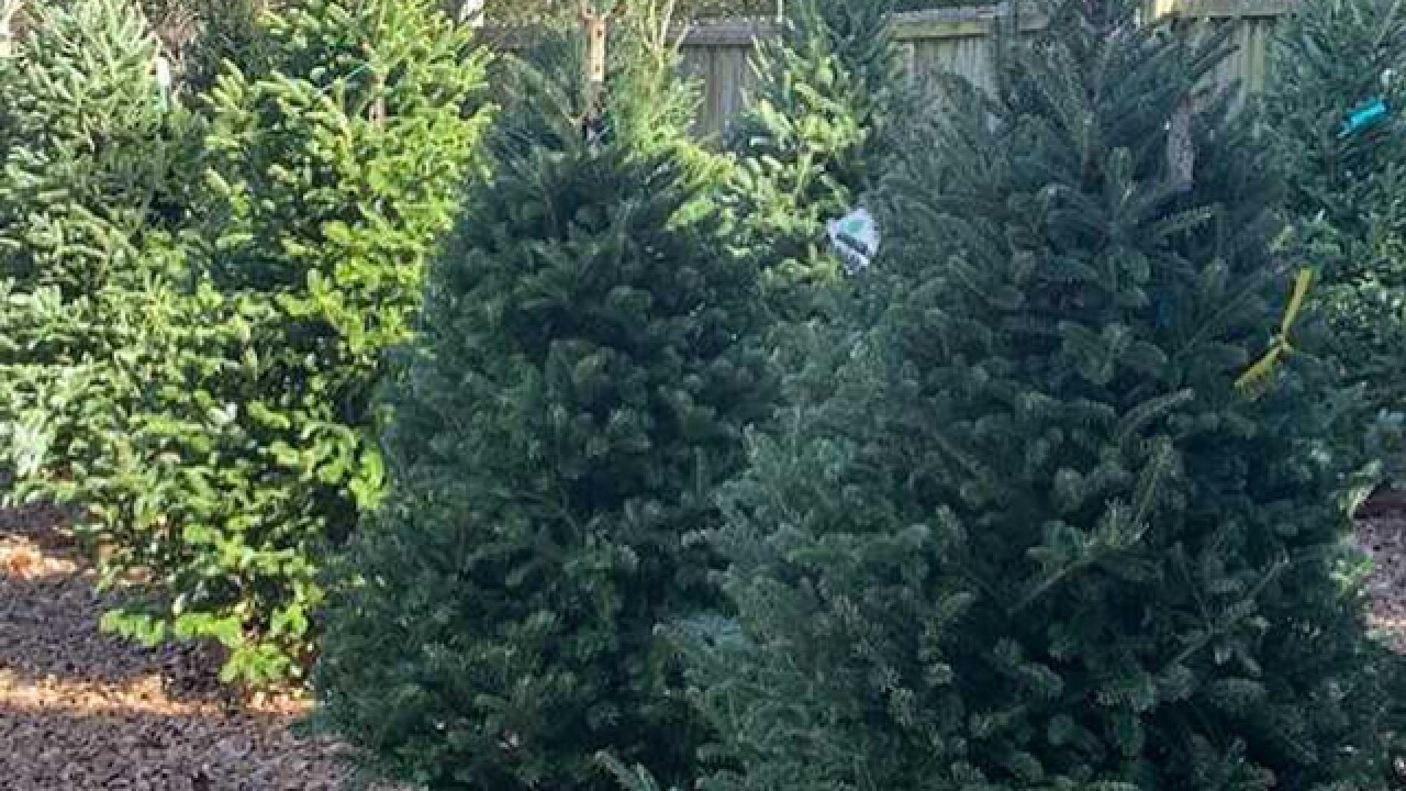 Buying organic Christmas trees is a growing trend