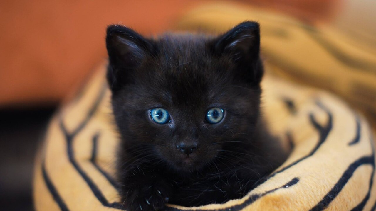 It S National Black Cat Day Here Are Five Facts To Know About Our Black Feline Friends