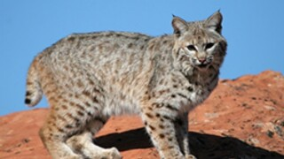 Bobcat euthanized after injuring Bisbee man in attack