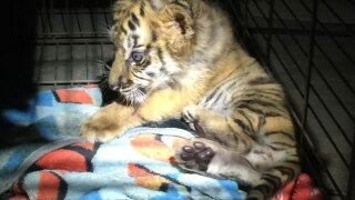 Moka, the tiger rescued from Otay Mesa border, settles into Alpine home