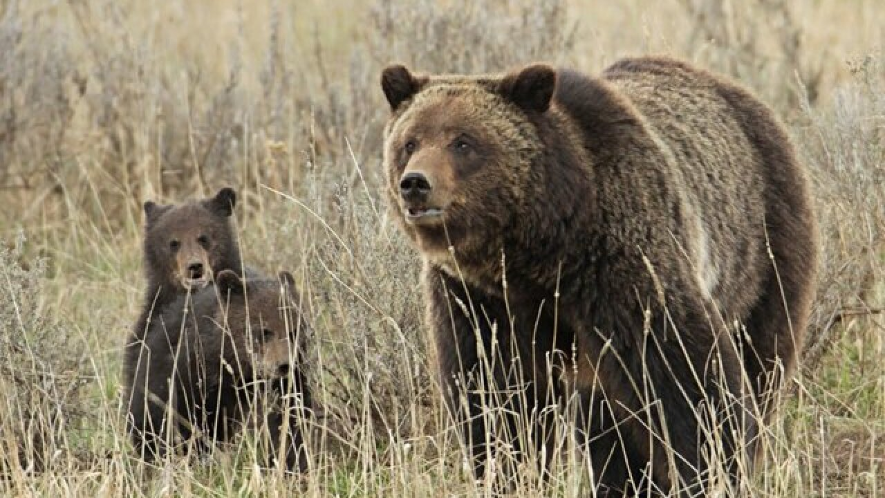 Protections restored for grizzly bears in the Northern Rocky Mountains; judge blocks hunts