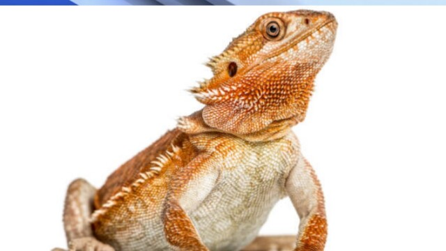 PD: Man steals Bearded Dragon and terrarium from ex
