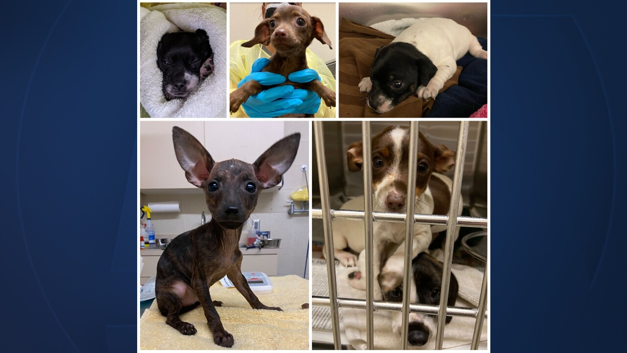 26 dogs and puppies were found in a small wire crate in Indian River County on April 9, 2021.jpg