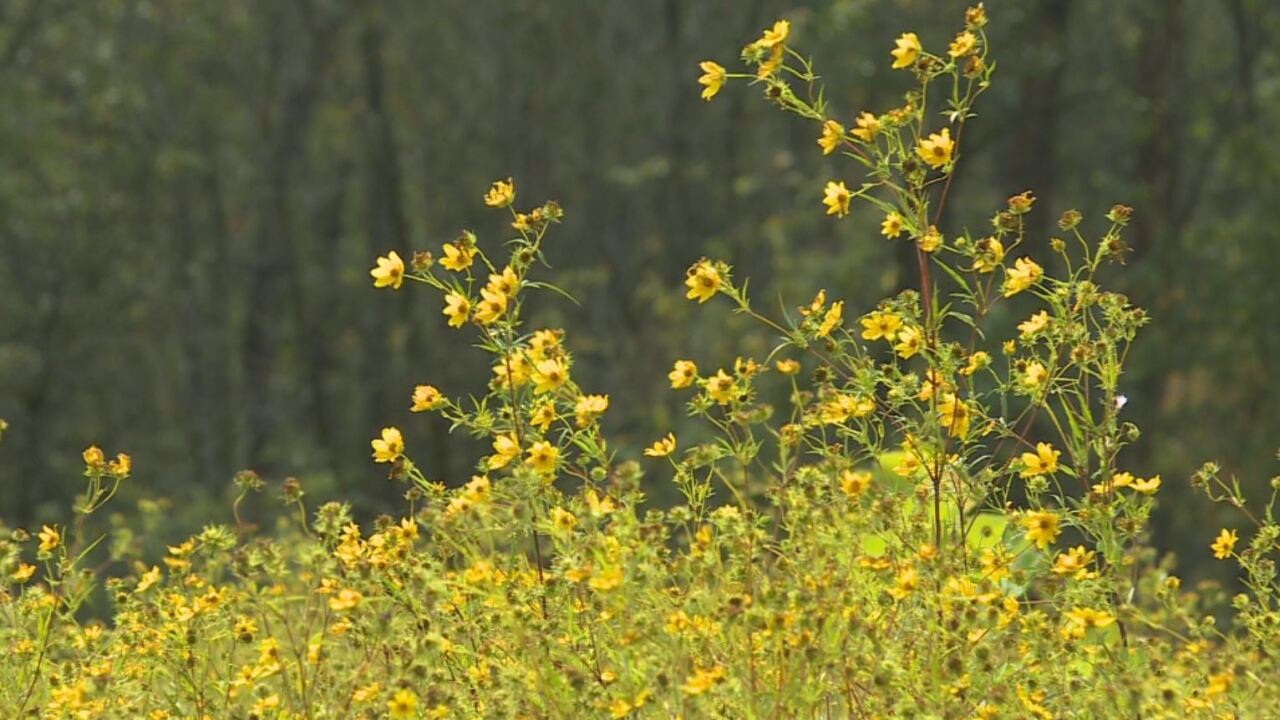 Wildflowers bloom along Shelby Bottoms greenway
