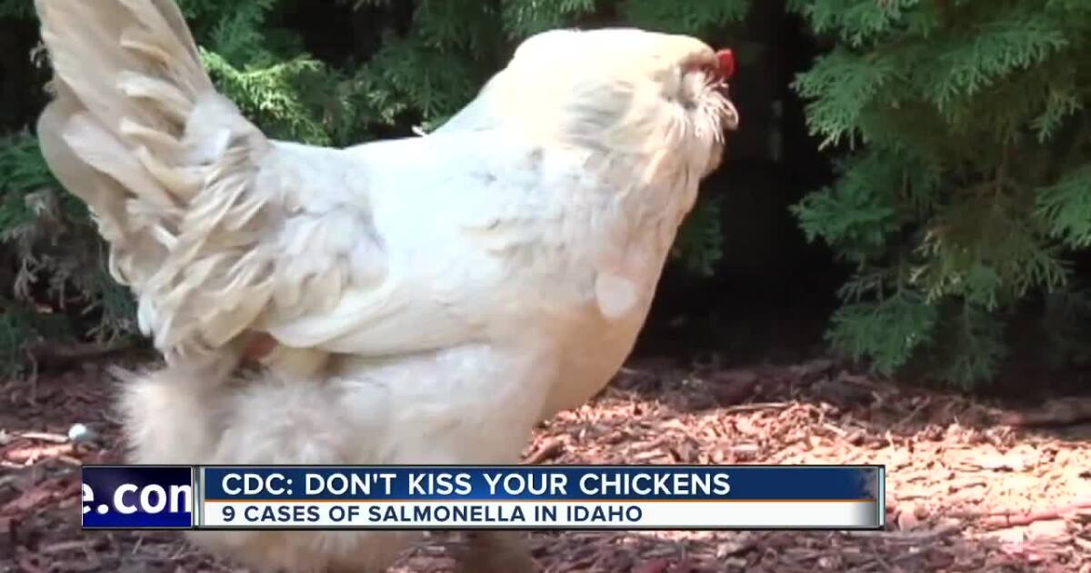 CDC warns against kissing backyard poultry due to salmonella