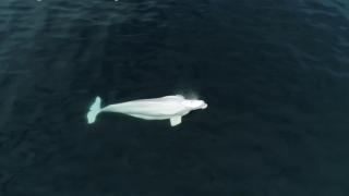 domenic biagini beluga whale.png