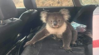A Koala Snuck Into A Man's Car In Australia To Cool Of With The Air Conditioner