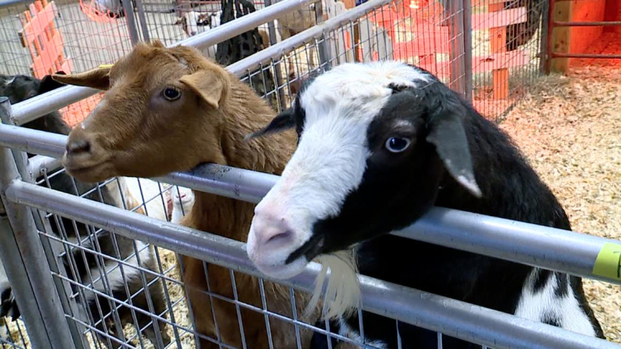 Deanna Rose Children's Farmstead goats