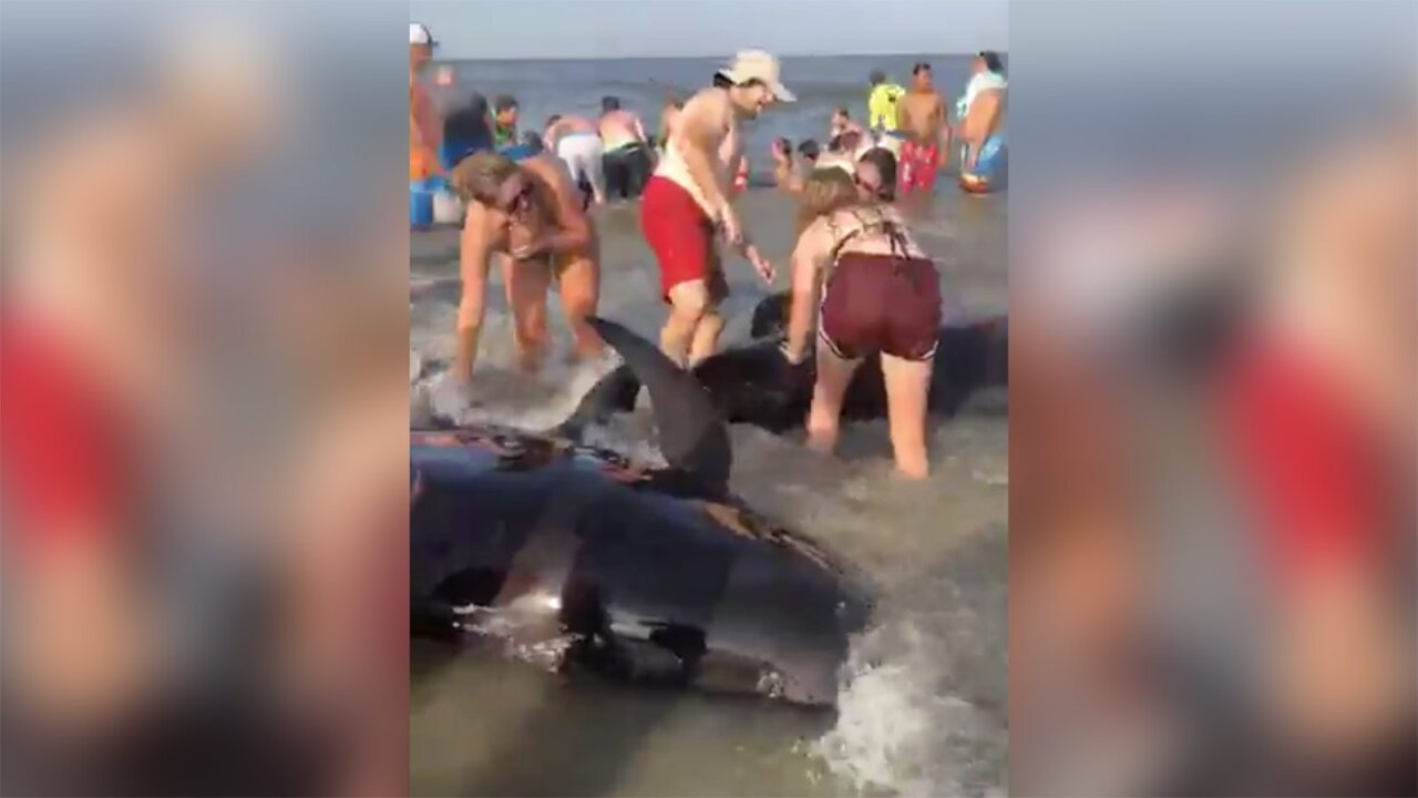 Dozens of beachgoers helped save a pod of beached whales