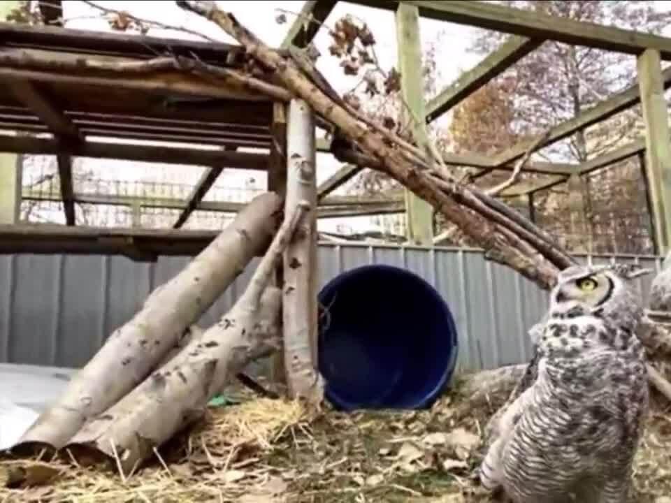 Meet ZooMontana's great horned owl (VIDEO)