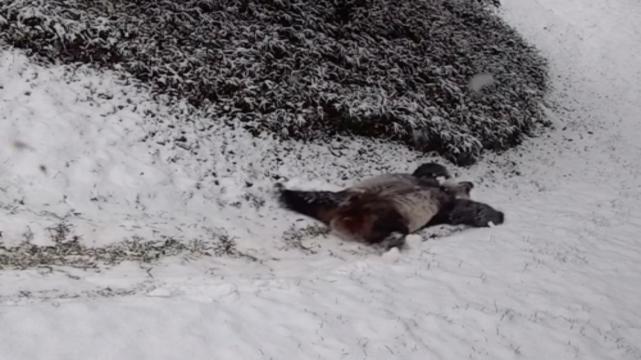 Video Of Pandas Playing In The Snow At The National Zoo Is The Cutest Thing We've Seen In A While