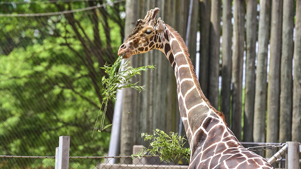 Caesar the giraffe at The Maryland Zoo (1).jpg
