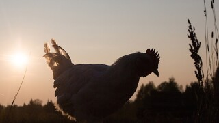 Pittsburgh man faces penalty if he can't catch noisy rooster