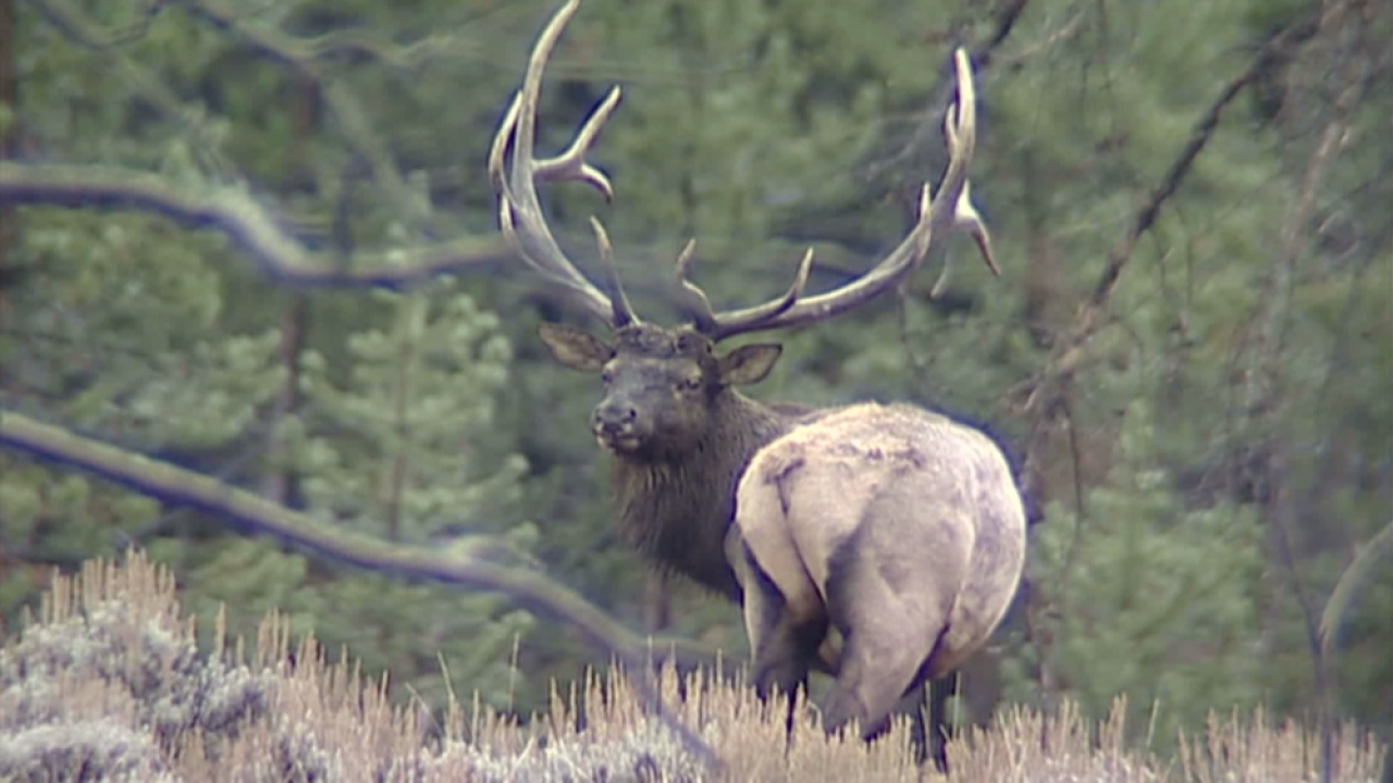 What changes wildfires and droughts can make to Montana's big game animals