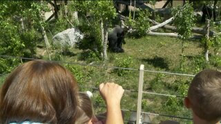 Hogle Zoo weighs in after rare gorilla shot, killed at Cincinnatti zoo to protectchild