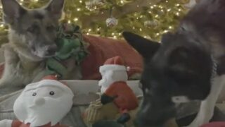Joe Biden's Dogs Wish America A Merry Christmas In This Cute Video