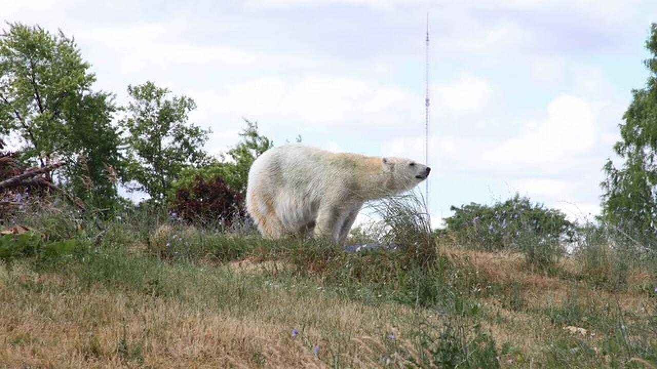 Meet Tundra! New polar bear at the Detroit Zoo