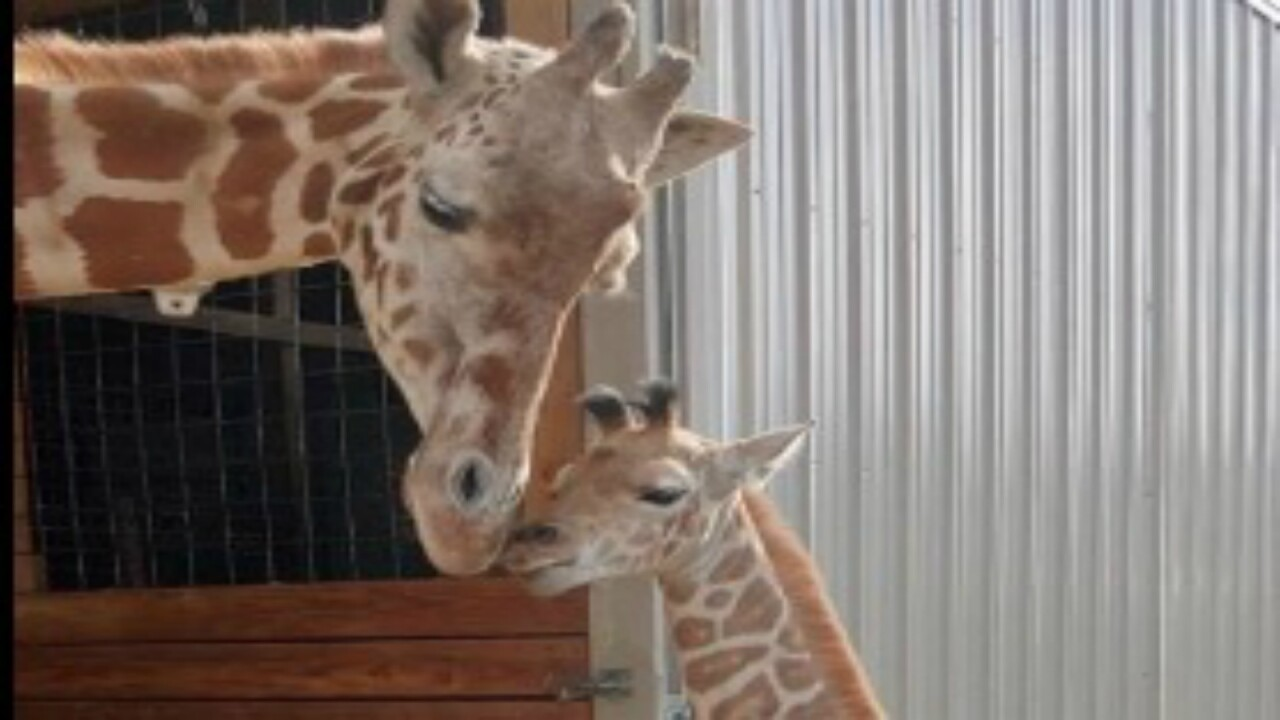 No more kids: April the giraffe to be put on birth control