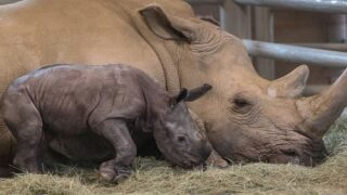 A Baby Southern White Rhino Was Born At The San Diego Zoo—here's Why That's A Big Deal