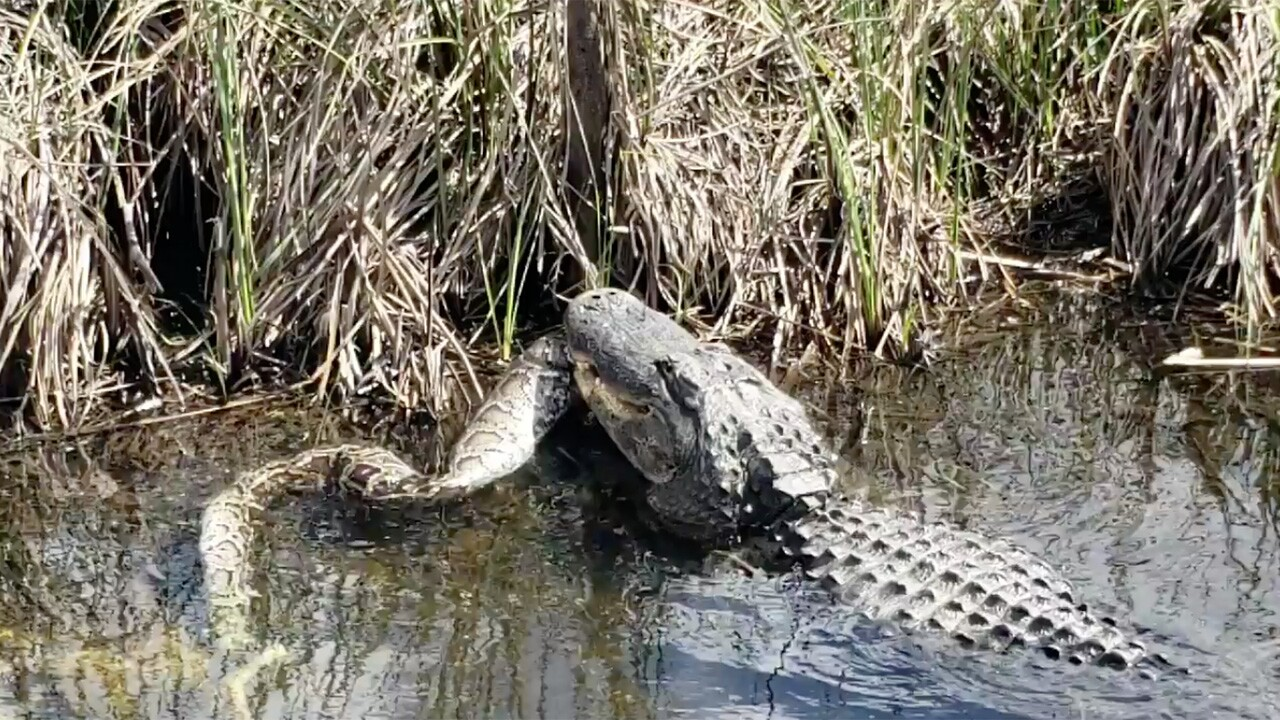 Video Alligator Eats Large Python In Everglades National Park
