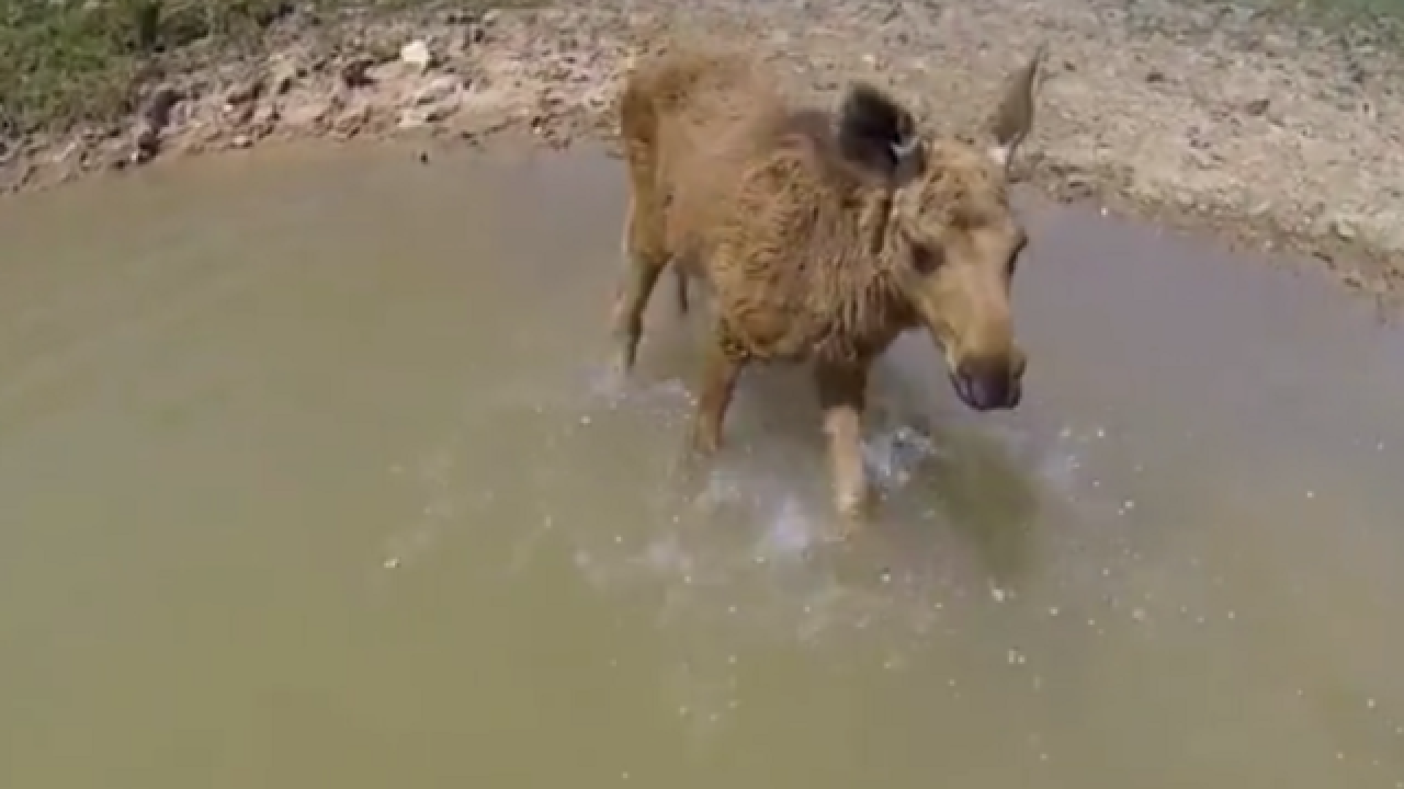 Video shows incredible friendship between human, moose