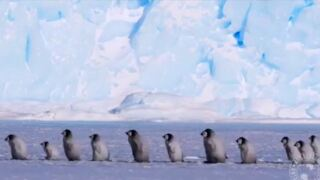 Video Extra: Baby penguins out for a stroll